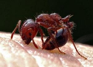 ヒアリに刺されると…対処法や症状を画像で紹介!